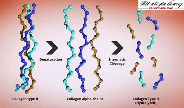 Collagen type 2 đóng vai trò quan trọng với chiều cao