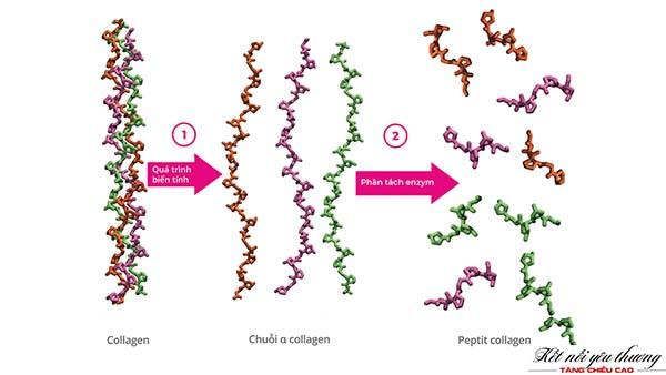 collagen-type-2-giup-tang-chieu-cao-4