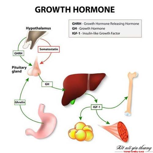 hormone-tang-truong-anh-huong-den-chieu-cao